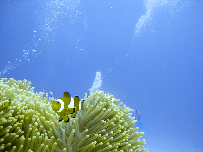 Clownfish in Borneo