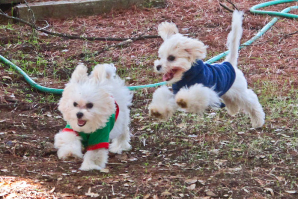 Marley & Ella: Two Maltese Peas in a Pod