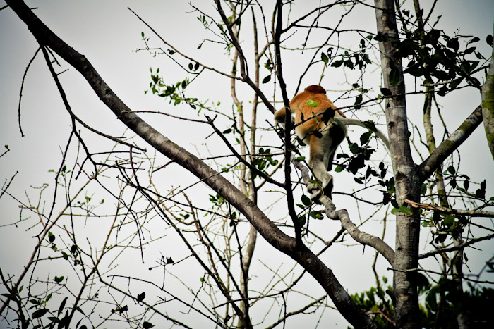 Proboscis Monkeys in Brunei