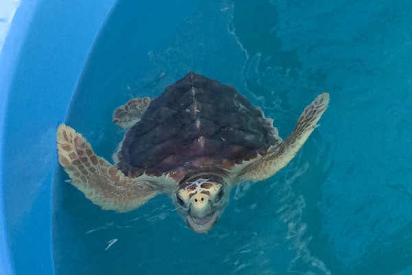 The Turtle Hospital and Coral Restoration: ways to get into conservation while visiting the Florida Keys.